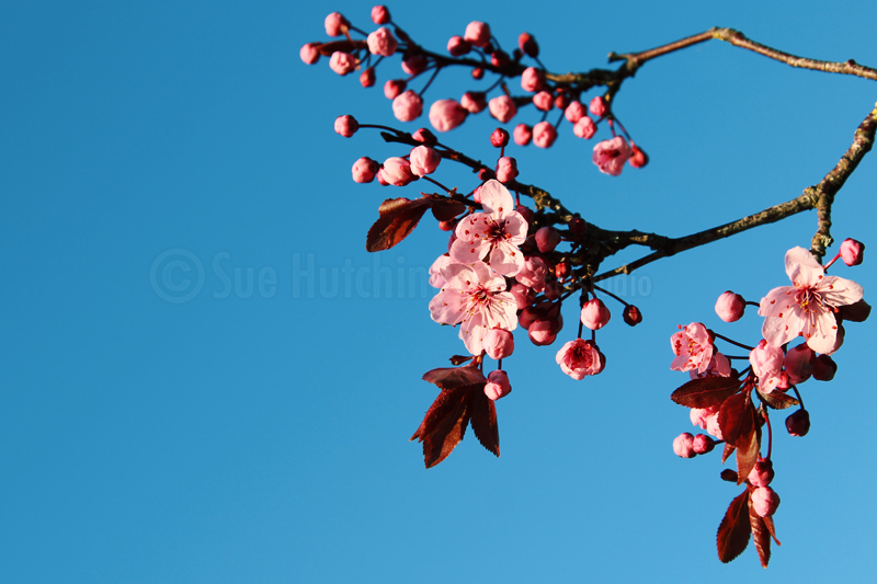 cherryblossom by sue hutchings