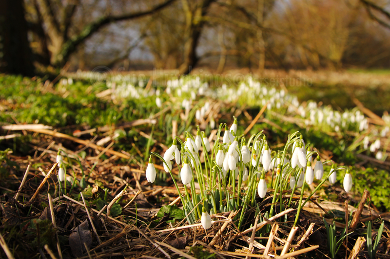 snowdrops-1-sue-hutchings_dorset-studio