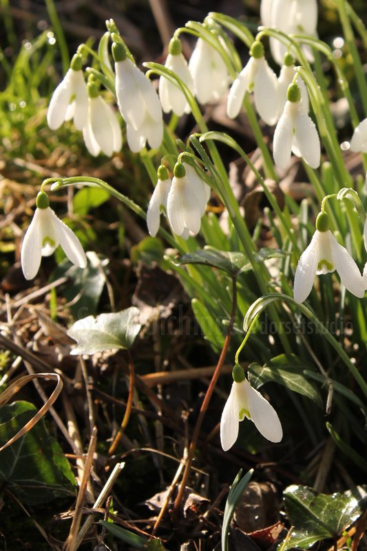 snowdrops-2-sue-hutchings_dorset-studio